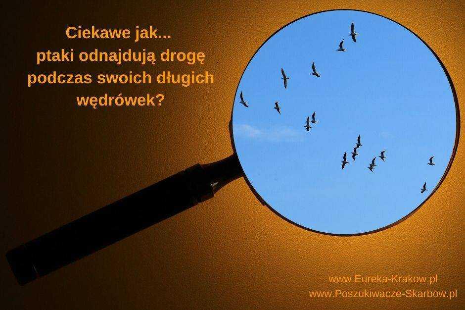 Migracje ptaków, ptaki lecą w kluczu.